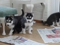adorable sberian husky puppie for sale