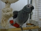 talking african grey parrots for sale now