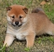 shiba inu puppies now ready for sale